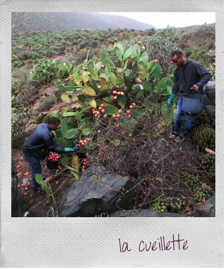 Terre d oc pays des figues de barbarie terre d 39 oc le blog - Quand cueillir les figues ...
